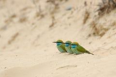 Tres pequeños Abeja-comedores verdes en la arena en el emirato de Sharja de Imágenes de archivo libres de regalías