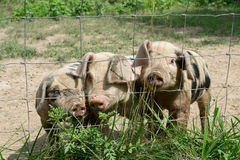 Tres pequeños cerdos Imagen de archivo