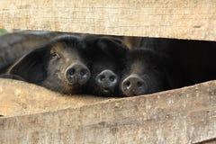 Tres pequeños cerdos negros en una pluma foto de archivo