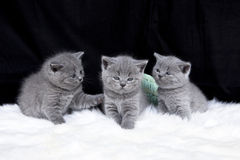 Tres pequeños gatos Imagen de archivo libre de regalías