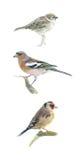 Tres pequeños pájaros Fotos de archivo libres de regalías