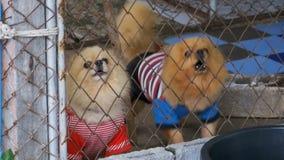 Tres pequeños perros criados en línea pura raspan vicioso detrás de la cerca de la rejilla en una jaula en la calle Cámara lenta almacen de metraje de vídeo