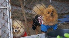 Tres pequeños perros criados en línea pura raspan vicioso detrás de la cerca de la rejilla en una jaula en la calle Cámara lenta metrajes