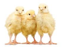 Tres pequeños pollos aislados en el fondo blanco fotografía de archivo