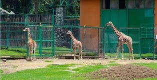 Tres pequeñas jirafas en el parque zoológico Fotografía de archivo libre de regalías