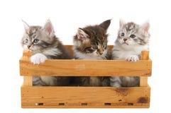 Tres pequeños gatitos principales del Coon Fotografía de archivo libre de regalías