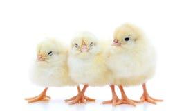 Tres pequeños polluelos Imagen de archivo libre de regalías