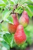 Tres peras rojas en un fondo del follaje verde Foto de archivo libre de regalías