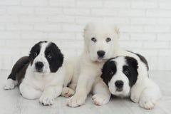 Tres perrito Alabai en un fondo blanco en estudio Foto de archivo