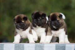 Tres perritos adorables de Akita del americano fotografía de archivo