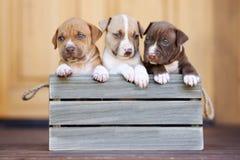 Tres perritos americanos del terrier de pitbull en una caja de madera foto de archivo