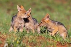 Tres perritos apoyados negros del chacal juegan en hierba verde corta para desarrollar capacidades foto de archivo