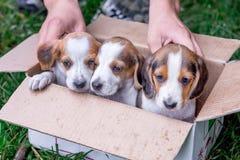 Tres perritos de la raza son perro estonio en una caja de cartón imágenes de archivo libres de regalías