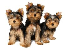 Tres perritos de yorkshire Fotografía de archivo libre de regalías