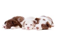 Tres perritos del border collie el dormir en fila Fotos de archivo