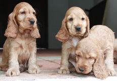 Tres perritos del perro de aguas de cocker Fotos de archivo libres de regalías