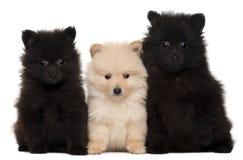 Tres perritos del perro de Pomerania, 2 meses Fotografía de archivo