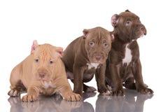 Tres perritos del pitbull con los oídos cortados Imagen de archivo libre de regalías