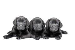 Tres perritos negros del laboratorio Fotografía de archivo