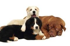 Tres perritos que juegan. Imagen de archivo libre de regalías