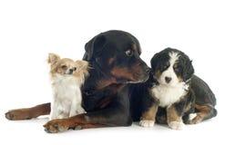 Tres perros Imágenes de archivo libres de regalías