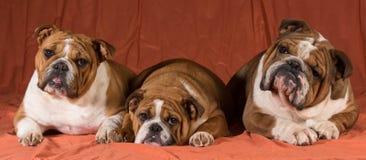 Tres perros Foto de archivo