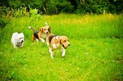 Tres perros Fotografía de archivo libre de regalías