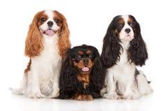 Tres perros arrogantes del perro de aguas de rey Charles Fotografía de archivo libre de regalías