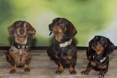 Tres perros basset miniatura liso-cabelludos Foto de archivo libre de regalías