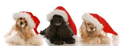 Tres perros de aguas de cocker de la Navidad Imagen de archivo libre de regalías