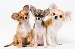 Tres perros de chihuahua de la casta Imágenes de archivo libres de regalías