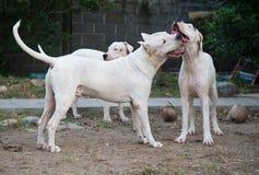 Tres perros de Dogo Argentino que juegan al aire libre en la yarda imágenes de archivo libres de regalías