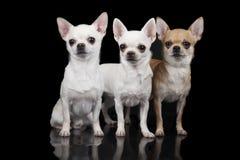 Tres perros de la chihuahua Imagen de archivo libre de regalías