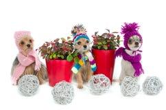 Tres perros de la chihuahua con los items de la Navidad Imagen de archivo