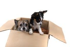 tres perros de la chihuahua en la caja de papel Imagen de archivo