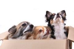 tres perros de la chihuahua en la caja de papel Imagen de archivo libre de regalías