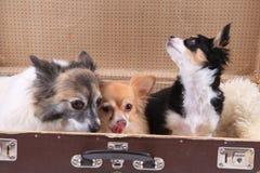tres perros de la chihuahua en la maleta Imágenes de archivo libres de regalías