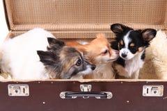 tres perros de la chihuahua en la maleta Fotografía de archivo
