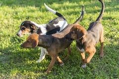 Tres perros de la cuadrilla Foto de archivo libre de regalías