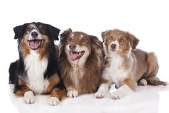 Tres perros de pastor australianos Fotografía de archivo