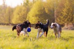 Tres perros de pastor australianos que luchan para una bola Imagenes de archivo
