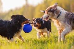 Tres perros de pastor australianos que luchan para una bola Fotos de archivo libres de regalías