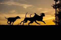Tres perros de Weimaraner jugar y correr en fondo amarillo de la naturaleza en las siluetas de la puesta del sol fotos de archivo libres de regalías
