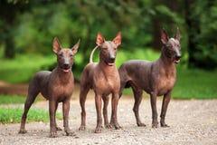 Tres perros de Xoloitzcuintli crían, los perros sin pelo mexicanos que se colocan al aire libre el día de verano Fotografía de archivo libre de regalías
