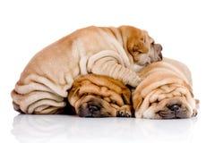 Tres perros del bebé de Shar Pei Foto de archivo libre de regalías