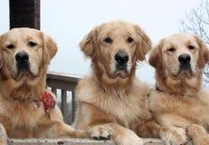 Tres perros del perro perdiguero de oro Imágenes de archivo libres de regalías