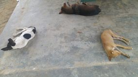 Tres perros el dormir Fotografía de archivo