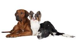 Tres perros en el fondo blanco Imagenes de archivo