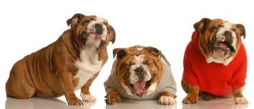 Tres perros felices fotografía de archivo