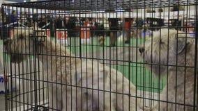 Tres perros juguetones que se sientan en jaula en la competencia del animal doméstico, animales domésticos pedigríes del Schnauze almacen de metraje de vídeo